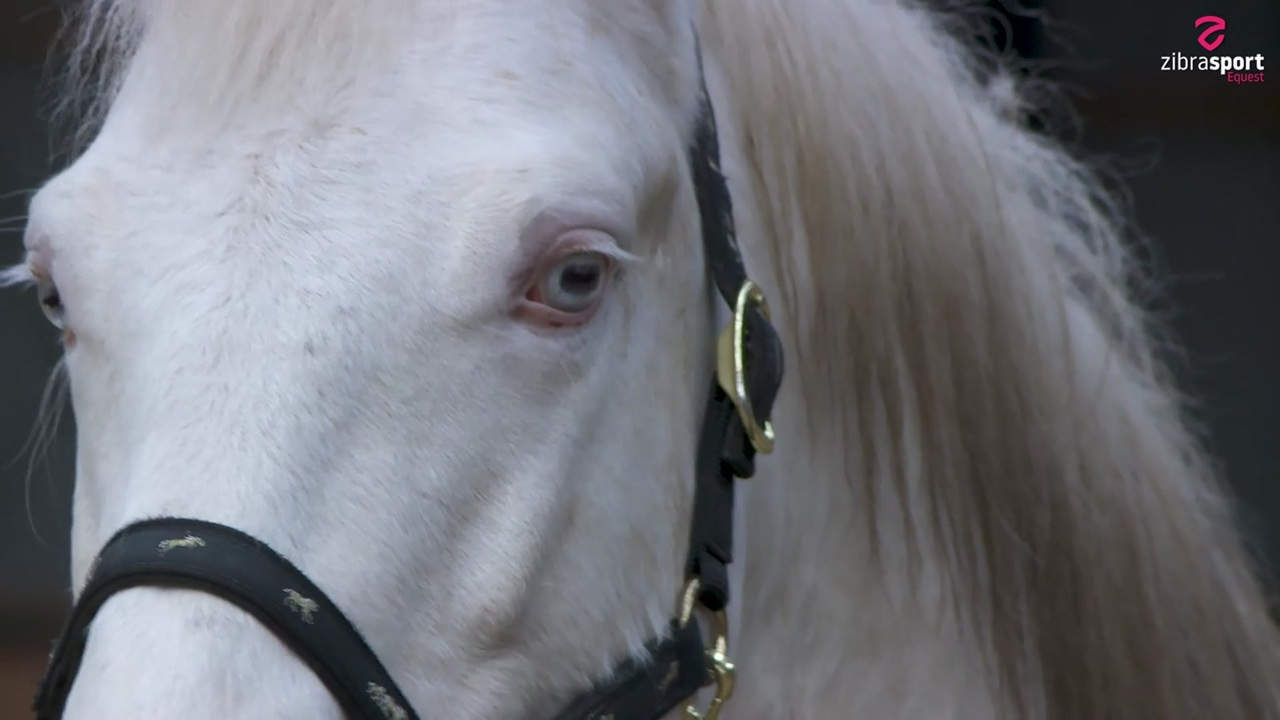 Springer's Golden Mint – the world's first BEC stallion to be nominated in class 1