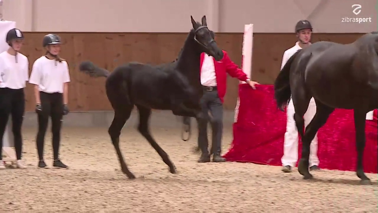 Presentation Danish Warmblood foal auction north