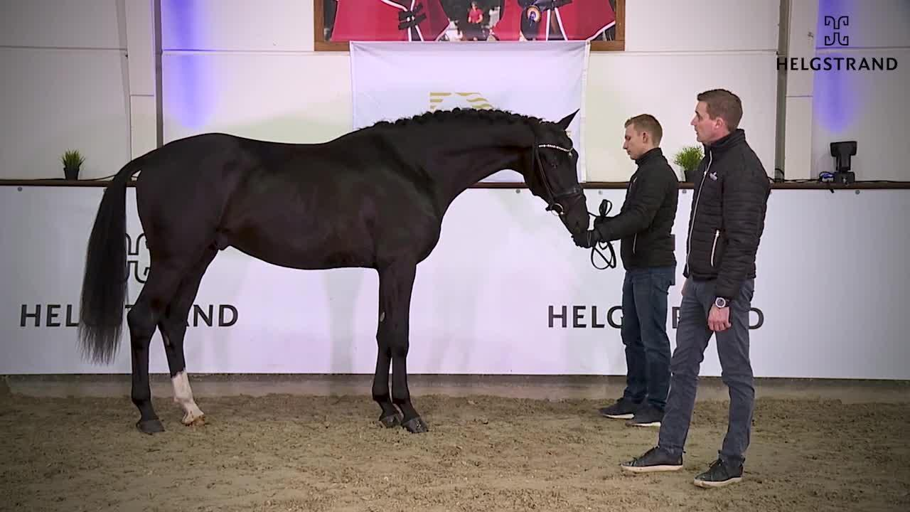 Franzé – Helgstrand Hingsteshow 2021
