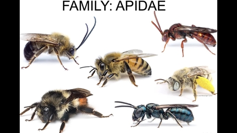 Thumbnail for entry Bee Families - Apidae