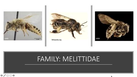 Thumbnail for entry Melittidae