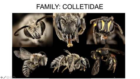 Thumbnail for entry Colletidae