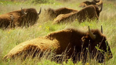 Thumbnail for entry Native Americans Saw Buffalo as More Than Just Food (4K)