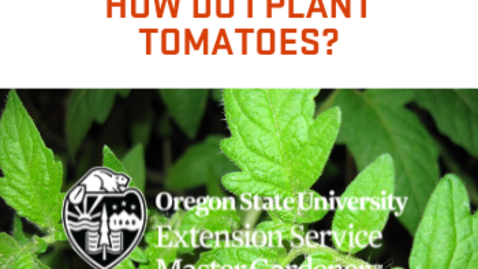 Thumbnail for entry How Do I Plant Tomatoes?