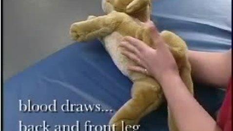 Thumbnail for entry Feline Medial Saphenous Venipuncture - 2