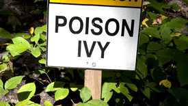 Thumbnail for entry How Do I Treat Poison Ivy?