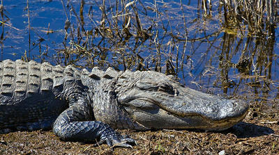 South Carolina Has a Healthy Population of Alligators Once